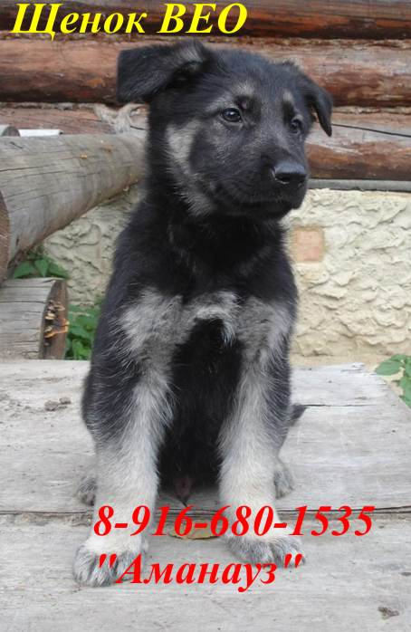 Клуб ВЕОСлужебная собака Восточноевропейская овчарка